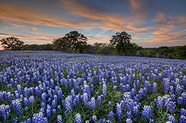 Bluebonnets in the Texas Hill Country by Rob Greebon