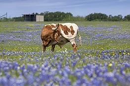 Bluebonnets & Texas Longhorn in the Texas Hill Country by Rob Greebon