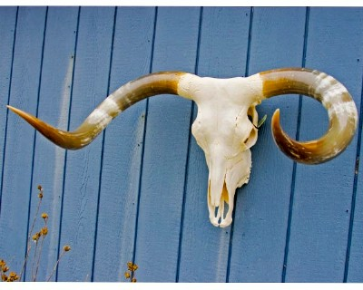 "SOLD! Texas Longhorn Skull - ""North"""