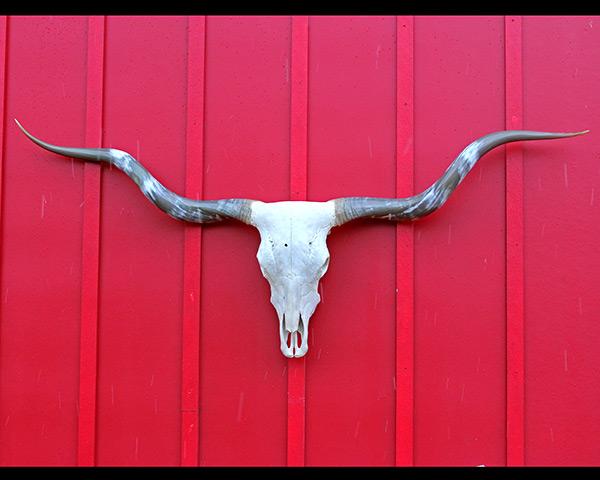 "A Texas Longhorn Cow Skull - Lawman 85"" T2T"