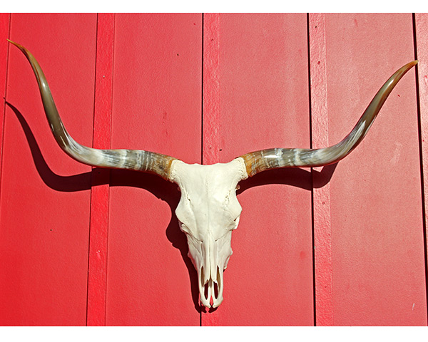 Mounted Longhorns, Steer Horns, Skulls