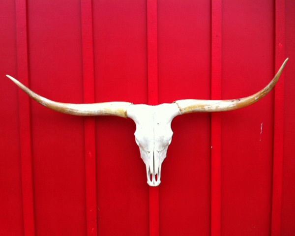 "A Texas Longhorn Cow Skull - Measures 62.5"" T2T"