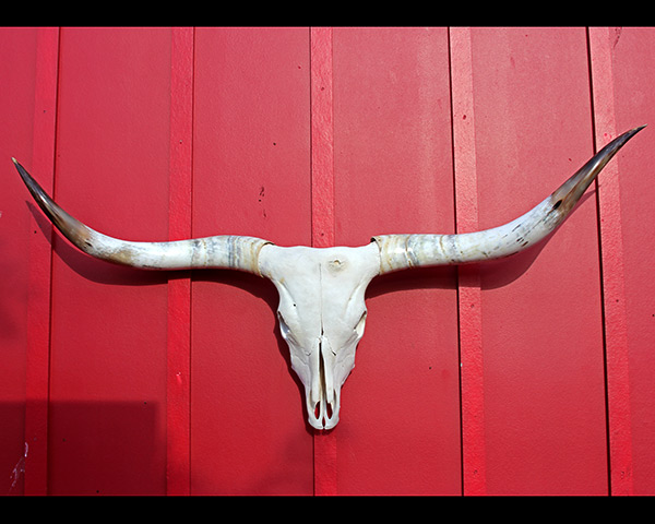 "A Texas Longhorn Cow Skull - Measures 66"" T2T"